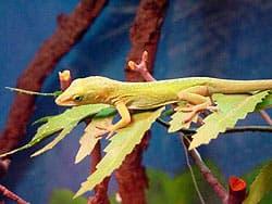 геккон, ящерица