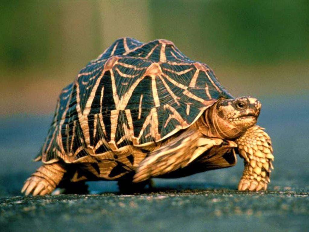 Звездчатая черепаха (Geochelone elegans), фото рептилии картинка