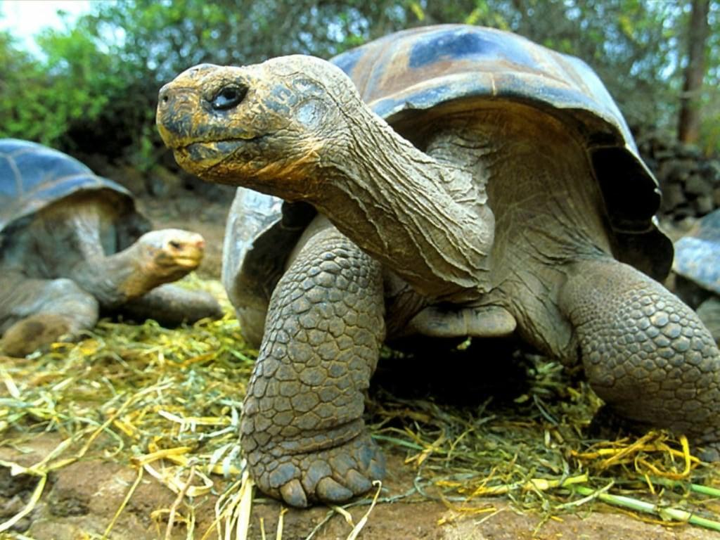Фото слоновая черепаха