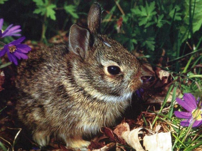 Карликовый кролик фотообои фото обои