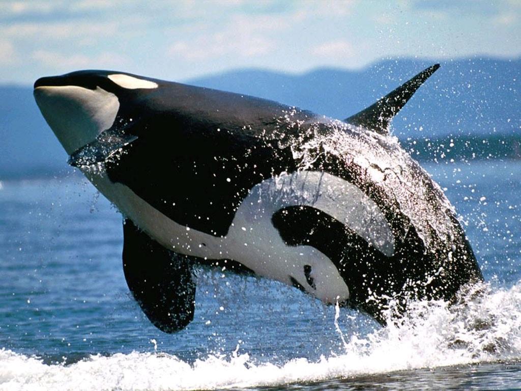 Косатка (Orcinus orca) самец, фото киты фотография