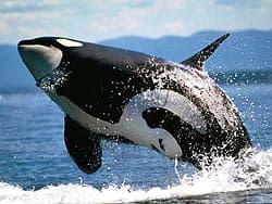 косатка касатка кит убийца