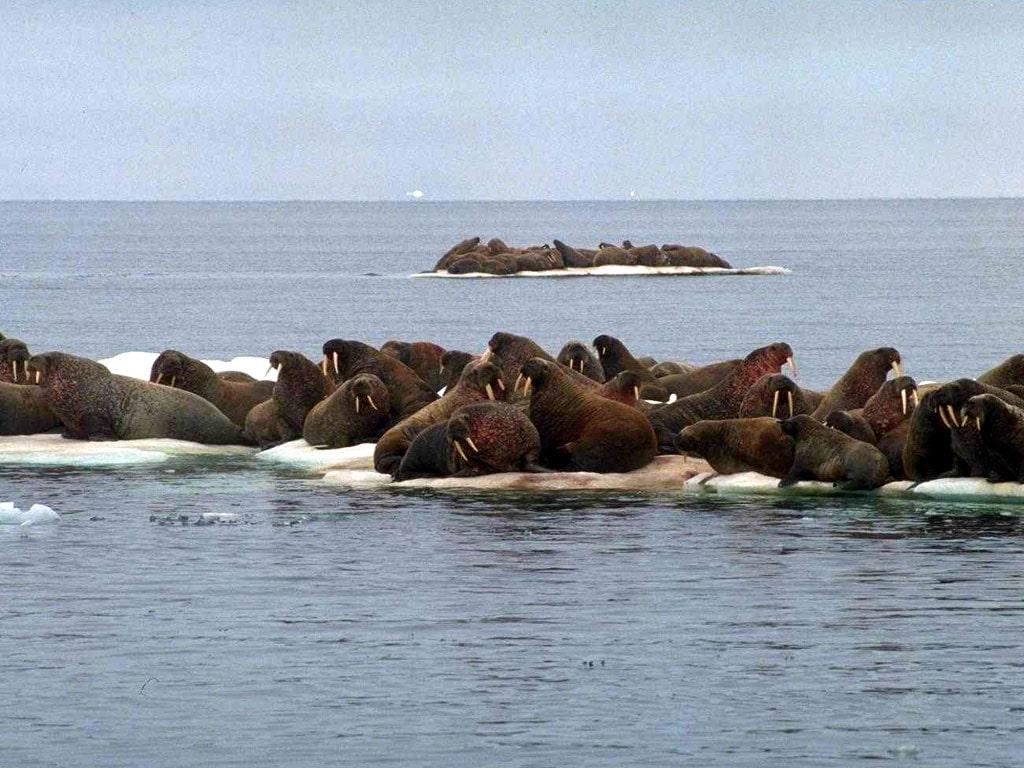 Фото обои моржи фото обои картинка