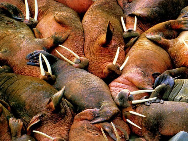 Моржи (Odobenus rosmarus), фото морские млекопитающие фотография