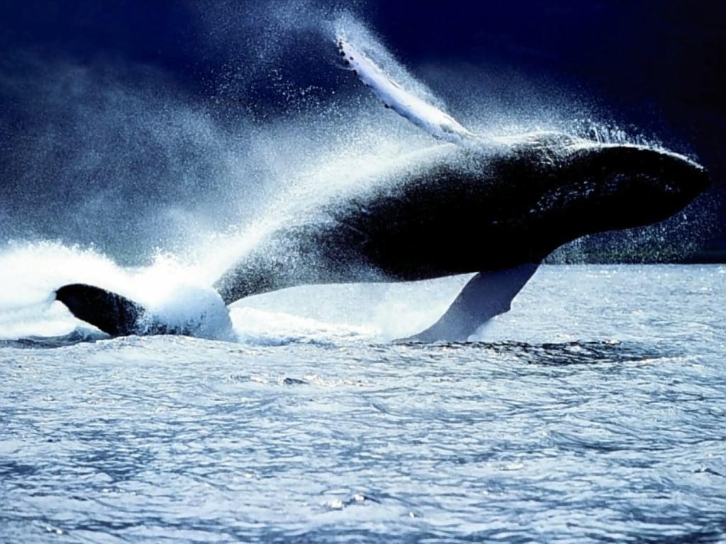 Горбатый кит или горбач фото обои