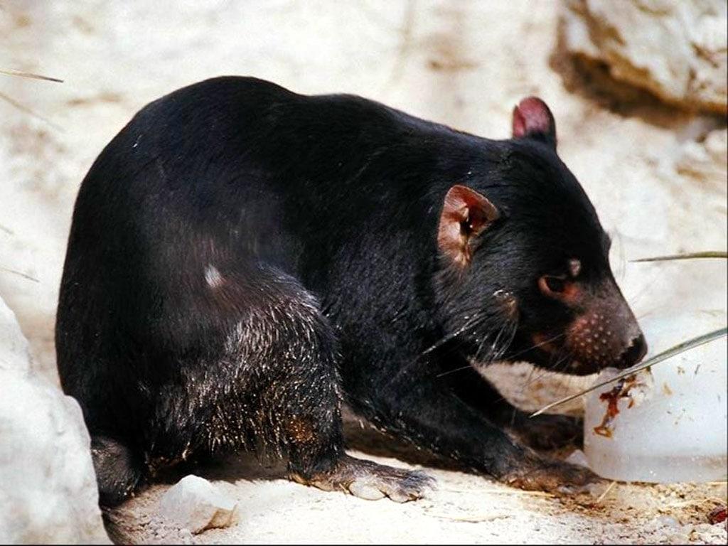 Тасманийский, или сумчатый дьявол (Sarcophilus harrisii), фото сумчатые животные фотография картинка