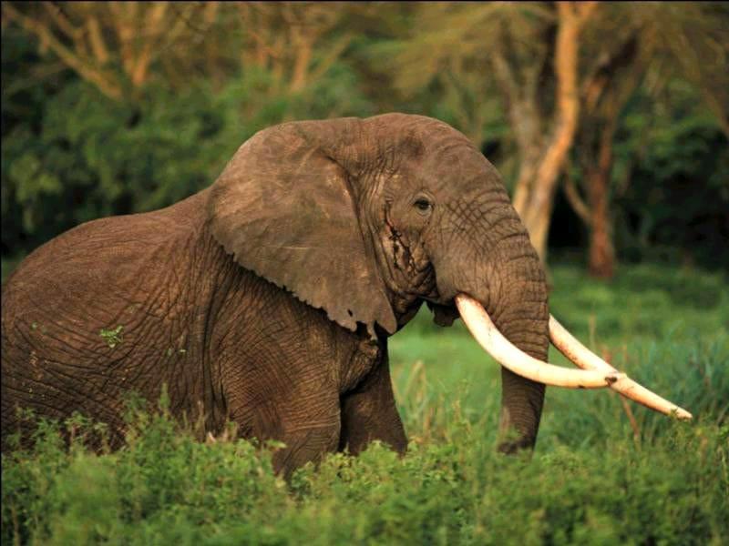 Африканский слон (Loxodonta  africana), фото животные картинка