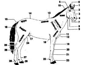 Экстерьер лошади, стати лошади, рисунок