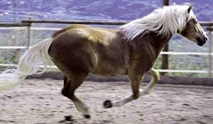 Авелинская лошадь, фото фотография, авелинская порода лошадей, лошади кони