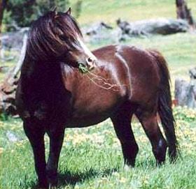 австралийский пони, породы лошадей, фото фотография, лошади кони