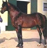 альтер-реал, породы лошадей, фото фотография, лошади кони