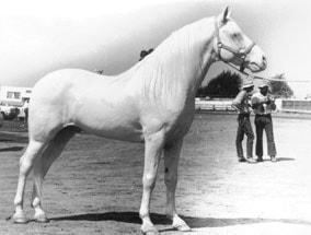 американский альбинос, породы лошадей, фото фотография, лошади кони