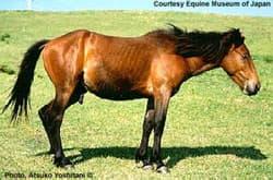 мисаки, японская порода лошадей, фото, фотография
