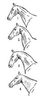 рис 3. форма шеи лошади, рисунок картинка изображение