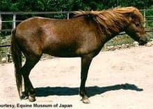 нома, японская порода лошадей, фото фотография, лошади кони