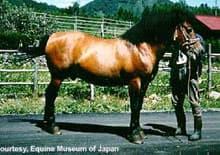 кисо, японская порода лошадей, фото фотография, лошади кони