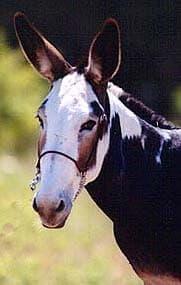 мул, лошак, фото фотография, лошади кони, породы лошадей