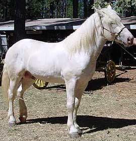 Американская упряжная лошадь, кремовая лошадь, фото фотография, кони лошади, породы лошадей