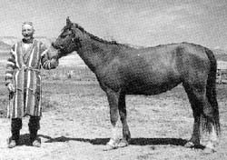 локайская порода лошадей, локарийская лошадь, фото, фотография