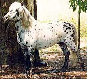 фалабелла пони, пони фалабелла, фото фотография, лошади кони