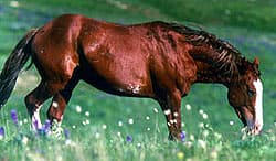 мустанг порода лошадей, фото фотография мустанга, лошади кони