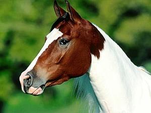 Ставим захромавшую лошадь на ноги, фото лошади, фотография лошади