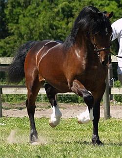 уэльский пони фото