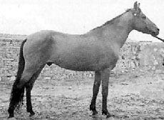 Иомудская лошадь, иомудская порода лошадей, фото фотография, кони лошади