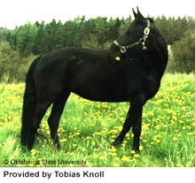 Кабардинская лошадь, кабардинская порода лошадей, фото фотография, кони лошади