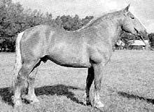 Литовская тяжелоупряжная лошадь, литовская тяжелоупряжная порода лошадей, фото фотография, кони лошади