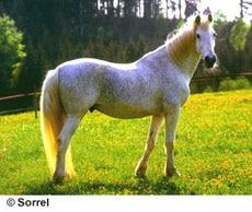 орловский рысак, фото, фотография, орловская рысистая порода лошадей, кони лошади
