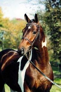 Ольденбургская лошадь, лошадь ольденбургская порода лошадей, разведение, родина, история, каретная лошадь, скрещивание, название, рост размер, рабочая лошадь, телосложение, популярность, конный спорт, племенная книга, масти, породы лошадей кони, фото, реферат