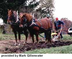 суффолькская лошадь, суффолькская порода лошадей, суффольк, фото фотография, лошади кони