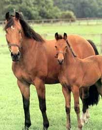 фредериксборгская лошадь, фредериксборгская порода лошадей, фото фотография, лошади кони
