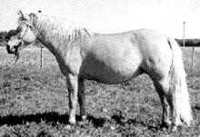 Эстонская лошадь, эстонская порода лошадей, фото фотография, лошади кони