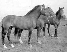 карабаирская лошадь, карабаирская порода лошадей, фото фотография, лошади кони