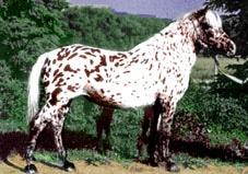 Алтайская лошадь, алтайская порода лошадей, фото, фотография