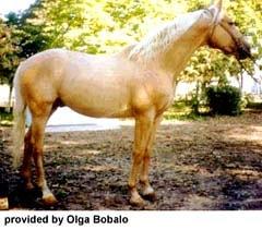 украинская верховая лошадь, породы лошадей, фото фотография, лошади кони