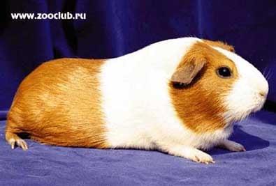 Гладкошерстная морская свинка, фото фотография, грызуны