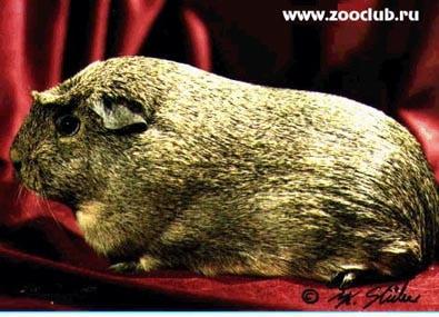 Морская свинка агути, фото фотография, грызуны