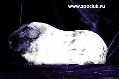 Далматин, морская свинка, фото фотография, грызуны