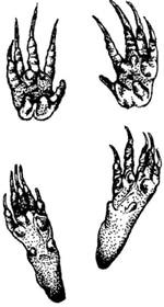 следы горного бобра (Aplodontia rufa), фото, фотография с http://icwdm.org/