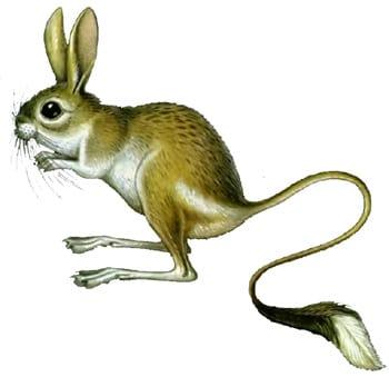 Большой тушканчик, земляной заяц (Allactaga jaculus), рисунок картинка