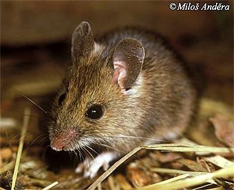 фото большой мыши