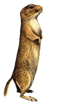 Европейский [западный, серый] суслик (Citellus citellus), картинка рисунок грызуны