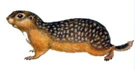 Крапчатый суслик (Citellus suslicus), рисунок картинка грызуны