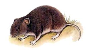 Длиннохвостый хомячок (Cricetulus longicaudatus), рисунок картинка грызуны