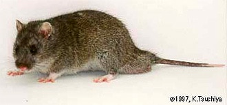 Крысовидный хомячок (Cricetulus triton), фото фотография с http://www.miyazaki-med.ac.jp/animalcenter/image/triton.jpg