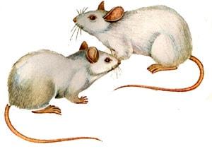 Белые крысы, рисунок картинка, грызуны