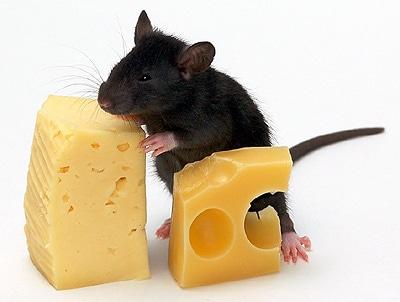 Домашняя мышь ест сыр, фото фотография, грызуны